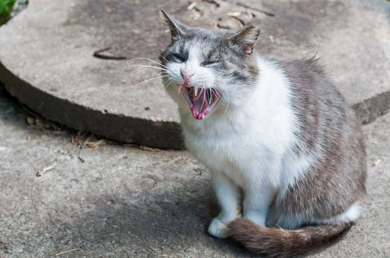 3. Why Do Cats Cry Incessantly?