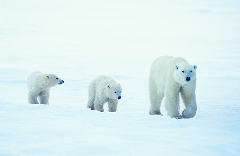 Polar Bears aren't white, they're just glowing