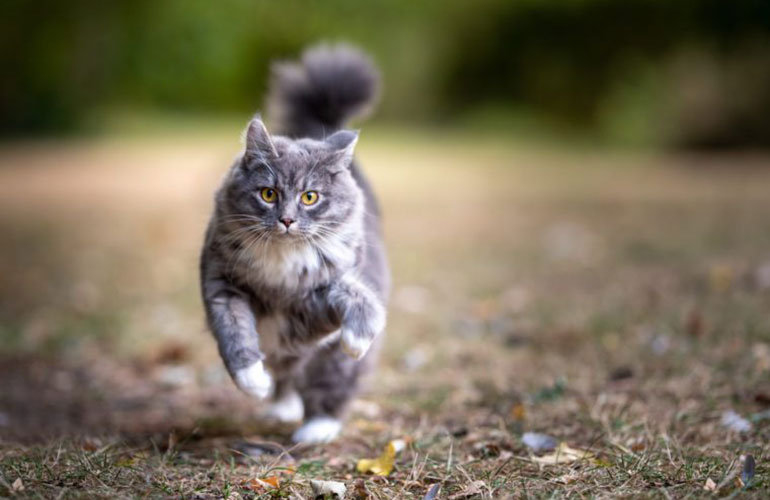 How fast can a domesticated cat run?