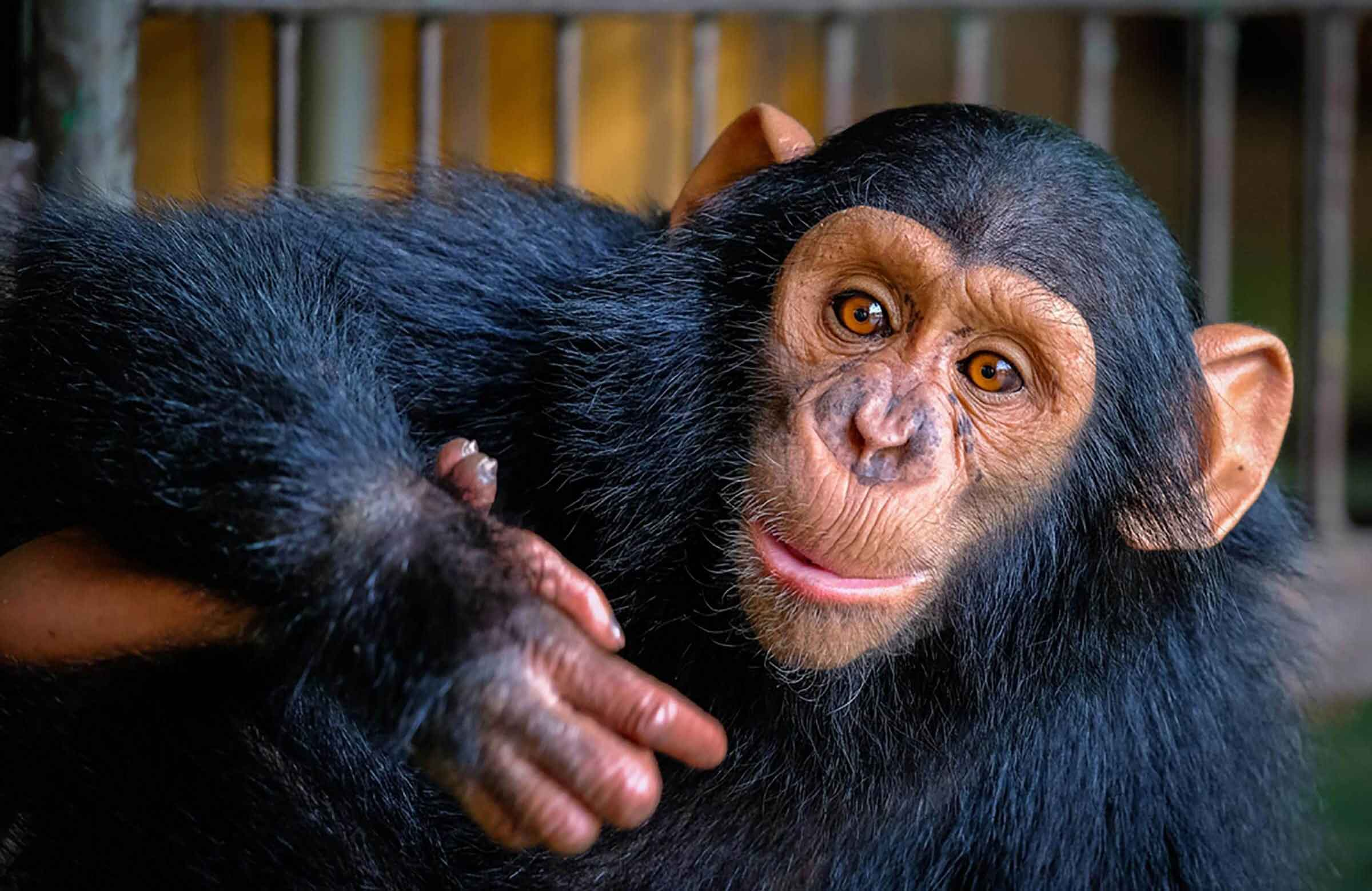 Chimpanzees are very similar to humans