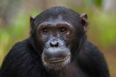 chimpanzee headshot