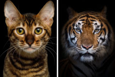 10 cats that look just like tigers